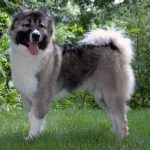 Šarplaninac – Dog Breed Information and Pictures