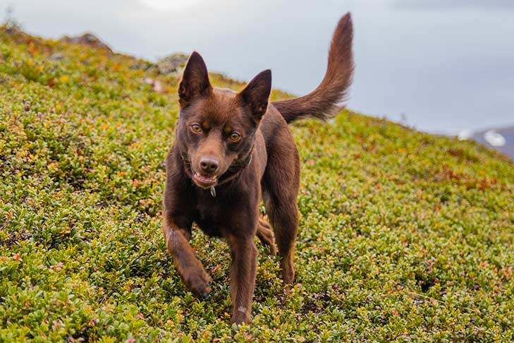 Australian Kelpie – Dog Breed Information and Pictures
