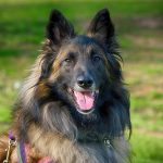 Belgian Shepherd Dog – Dog Breed Information and Pictures