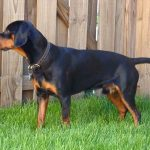 Black Forest Hound – Dog Breed Information and Pictures