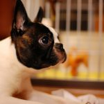 Boston Terrier – Dog Breed Information and Pictures