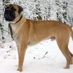 Bullmastiff – Dog Breed Information and Pictures