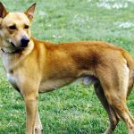Canaan Dog – Dog Breed Information and Pictures
