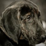 Plott Hound – Dog Breed Information and Pictures