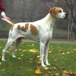 Pointer – Dog Breed Information and Pictures