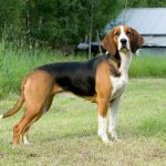 Polish Hound – Dog Breed Information and Pictures