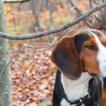 Serbian Tricolour Hound – Dog Breed Information and Pictures