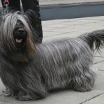 Skye Terrier – Dog Breed Information and Pictures