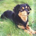 Small Greek Domestic Dog – Dog Breed Information and Pictures