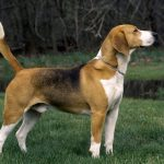 Southern Hound – Dog Breed Information and Pictures