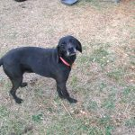 Stephens Cur – Dog Breed Information and Pictures