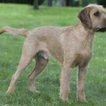 Styrian Coarse Haired Hound – Dog Breed Information and Pictures