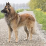 Tervueren – Dog Breed Information and Pictures