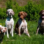 Braque du Bourbonnais – Dog Breed Information and Pictures