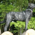 Cao de Castro Laboreiro – Dog Breed Information and Pictures