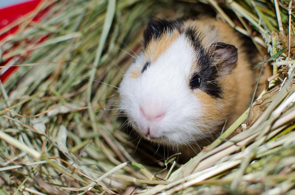 Buying a Pet Guinea Pig   Livelife