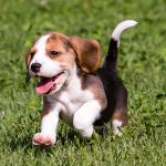 Drever – Dog Breed Information and Pictures