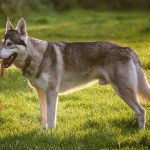 Northern Inuit Dog – Dog Breed Information and Pictures