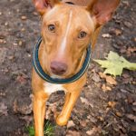 Podenco Andaluz – Dog Breed Information and Pictures