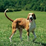Poitevin – Dog Breed Information and Pictures