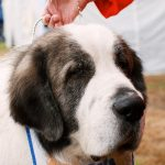 Pyrenean Mastiff – Dog Breed Information and Pictures