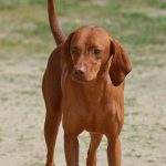 Redbone Coonhound – Dog Breed Information and Pictures
