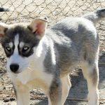 Seppala Siberian Sleddog – Dog Breed Information and Pictures