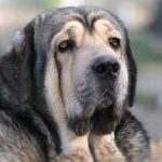 Spanish Mastiff – Dog Breed Information and Pictures