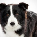 The Border Collie – Dog Breed Information and Pictures