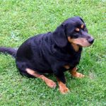 Alpine Dachsbracke – Dog Breed Information and Pictures