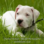 Argentine Dogo – Dog Breed Information and Pictures