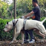 Bully Kutta – Dog Breed Information and Pictures