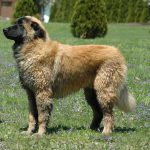 Estrela Mountain Dog – Dog Breed Information and Pictures