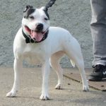 Irish Staffordshire Bull Terrier – Dog Breed Information and Pictures