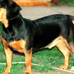 Lithuanian Hound – Dog Breed Information and Pictures