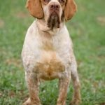 Pachon Navarro – Dog Breed Information and Pictures