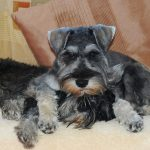 Schnauzer (Minature) – Dog Breed Information and Pictures