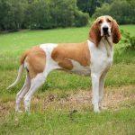 Schweizerischer Niederlaufhund – Dog Breed Information and Pictures