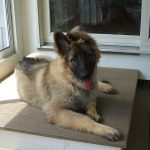 Shiloh Shepherd Dog – Dog Breed Information and Pictures