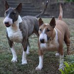 The Bull Terrier – dog breed information and pictures