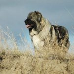 Caucasian Shepherd Dog – Dog Breed Information and Pictures