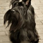 Scottish Terrier – Dog Breed Information and Pictures