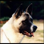 American Akita – Dog Breed Information and Pictures