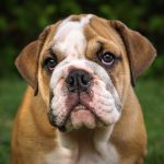 Australian Bulldog – Dog Breed Information and Pictures