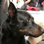 Beauceron – Dog Breed Information and Pictures