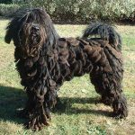 Bergamasco – Dog Breed Information and Pictures