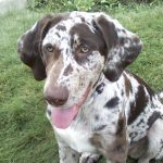 Catahoula Cur – Dog Breed Information and Pictures