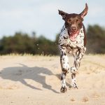 German Shorthaired Pointer – Dog Breed Information and Pictures