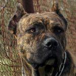 Gran Mastin de Borinquen – Dog Breed Information and Pictures