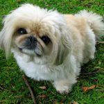 Pekingese – Dog Breed Information and Pictures